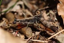 Stark gefährdet, der Buntbäuchige Grashüpfer (Omocestus rufipes)