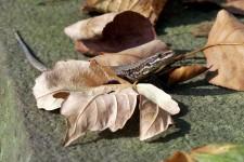 Vorkommen allochthoner Populationen der Mauereidechse (Podarcis muralis) sind artenschutzrechtlich schwierig