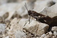 gAuf felsigen Magerrasen ist die Rotflügelige Schnarrschrecke (Psophus stridulus) anzutreffen