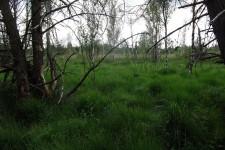 Landlebensraum des Moorfroschs (Rana arvalis) im Wurzacher Ried