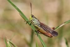 Eine Besonderheit der baden-württembergischen Heuschreckenfauna, der Gebirgsgrashüpfer (Stauroderus scalaris)