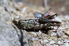 Kopula von Calliptamus italicus am Hohentwiel bei Singen