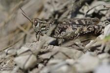 Weibchen der Italienischen Schönschrecke bei Horb