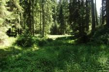 Habitat von C. boltonii im südlichen Schwarzwald